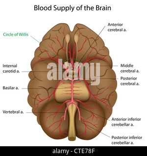 Blood supply of the brain - Stock Photo