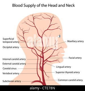 Blood supply of the head and neck - Stock Photo