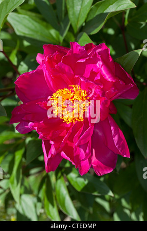 'Karl Rosenfield' Common garden peony, Luktpion (Paeonia lactiflora) - Stock Photo