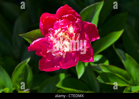 'Nellie Saylor' Common garden peony, Luktpion (Paeonia lactiflora) - Stock Photo