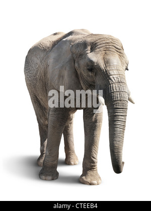 African elephant isolated on white background with a clipping path - Stock Photo