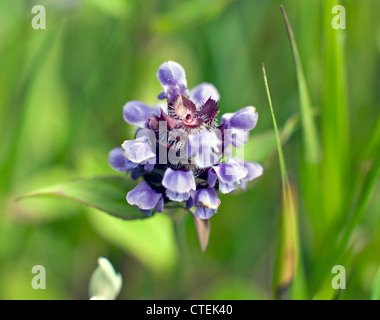 Prunella vulgaris, known as common selfheal, heal-all, heart-of-the-earth flower in close up Kemeru National Park - Stock Photo