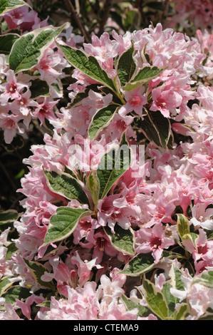 Weigela praecox 'Variegata, a pink variegated flowering garden shrub - Stock Photo