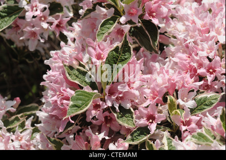 Weigela praecox 'Variegata, a pink variegated flowering garden shrub - Stock Photo
