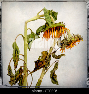 Withered sunflowers - Stock Photo