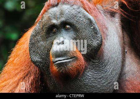 A habituated, wild dominant alpha male orangutan orang-utan orang utan with developed cheek pads signifying his - Stock Photo