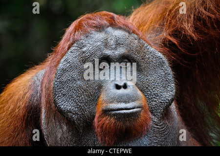 A wild but habituated, large male adult orangutan with developed cheekpads signifying his alpha male dominant status. - Stock Photo