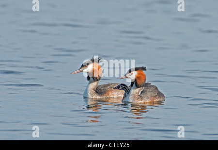 GREAT CRESTED GREBES Podiceps cristatus WITH CHICK. - Stock Photo