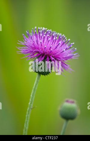 Purple thistle wildflower in bloom on green - Stock Photo