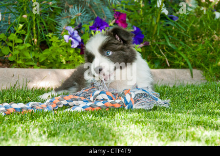 Nine-week-old border collie puppy playing with rope toy - Stock Photo