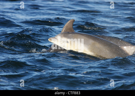 Bottlenose dolphins (Tursiops truncatus), mother and calf surfacing, Moray Firth, Scotland, UK - Stock Photo