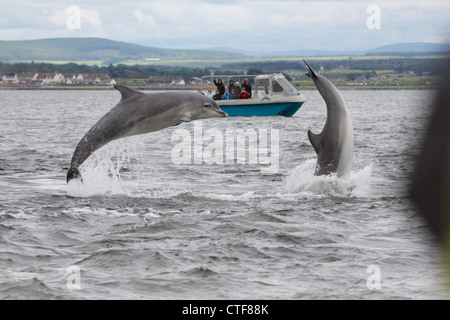 Dolphin watching boat and two Bottlenose Dolphins (Tursiops truncatus) leaping, breaching in the Moray Firth, Scotland, - Stock Photo
