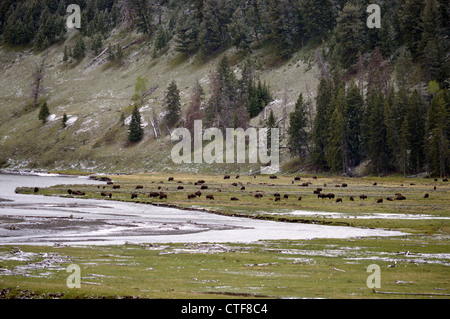 A herd of buffalo in Yellowstone National Park near  sylvan lake - Stock Photo