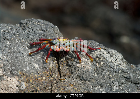 A Sally Lightfoot Crab (Grapsus grapsus) on the volcanic shoreline of South Plaza Island in the Galapagos Islands, - Stock Photo