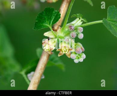 BLACK CURRANT Ribes nigrum (Grossulariaceae) - Stock Photo
