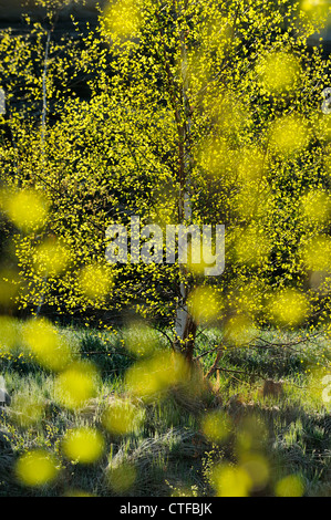 Spring birch trees as seen through out of focus birch leaves, Greater Sudbury, Ontario, Canada - Stock Photo
