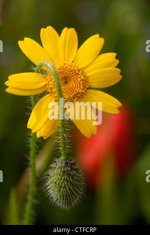 Corn Marigold (Chrysanthemum segetum)with a poppy bud drapped over it and a common red poppy( Papaver rhoeas) in the background. Stock Photo