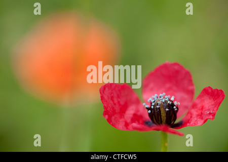 Rough Poppy (Papaver hybridum) in foreground with a Long-Headed Poppy (Papver dubium) in the background. - Stock Photo