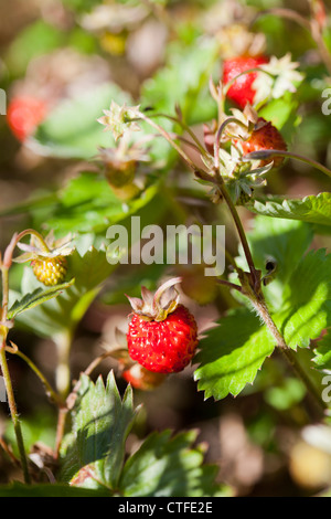 Close-up of delicious fresh and ripe wild strawberries - Stock Photo