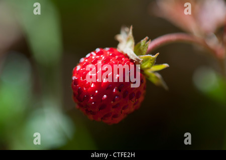 Close-up of delicious fresh and ripe wild strawberry - Stock Photo