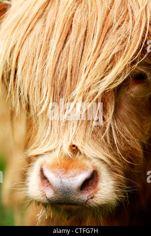 Vertical close up of highland cow head with hair over face