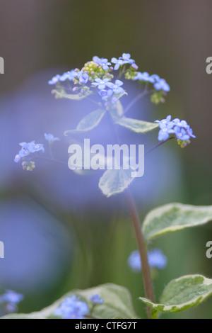 Wood Forget-me-not (Myosotis sylvatica) in flower, England, UK - Stock Photo