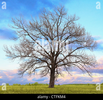 A lone oak tree without leaves in the field - Stock Photo