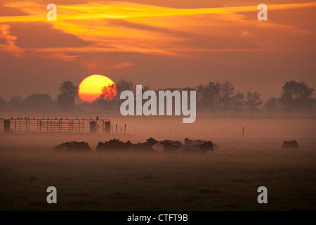 The Netherlands, Noord Beemster, Beemster Polder, UNESCO World Heritage site. Cows in morning mist. Sunrise. - Stock Photo