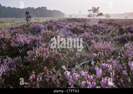 The Netherlands, Bussum, Early morning, flowering heath. Spider web. - Stock Photo