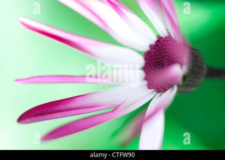 senetti flower in english garden - Stock Photo