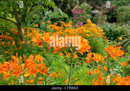 tiger lily flowers in garden - Stock Photo