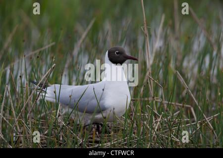 Black-headed Gull Larus ridibundus adult standing on nest - Stock Photo
