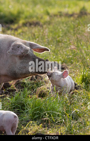 The Netherlands, Kortenhoef, Pigs. Sow and piglet. - Stock Photo