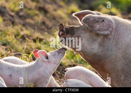 The Netherlands, Kortenhoef, Pigs. Sow and piglets. - Stock Photo
