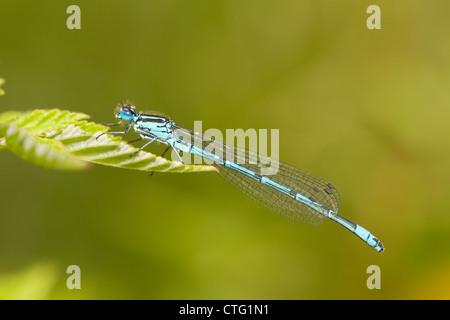 azure damsel flies fly - photo #38