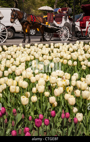Tulips at Grand Army Plaza, NYC - Stock Photo