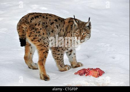 Eurasian lynx (Lynx lynx) eating meat in the snow in winter, Bavarian Forest National Park, Germany - Stock Photo