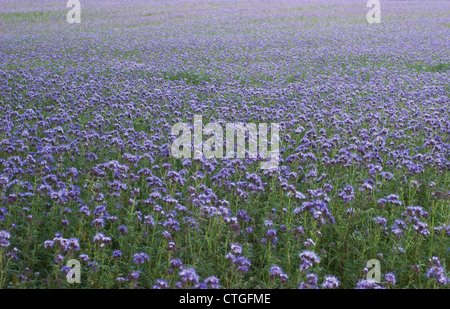 Phacelia tanacetifolia, Scorpion Weed - Stock Photo