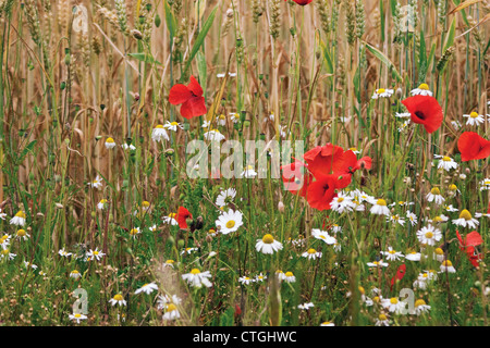 Papaver rhoeas, Poppy field - Stock Photo