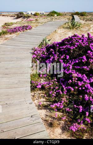 Purple Flowers Growing Along The Edge Of A Boardwalk; Island Of Ilha Da Barreta, Algarve, Portugal - Stock Photo