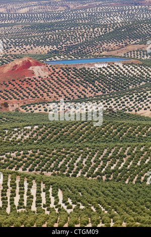 Olive Groves Near Mancha Real; Jaen Province, Spain - Stock Photo