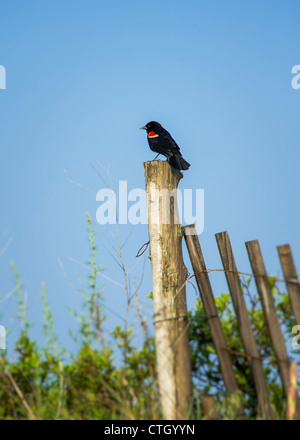 Red-winged blackbird, Agelaius phoeniceus - Stock Photo