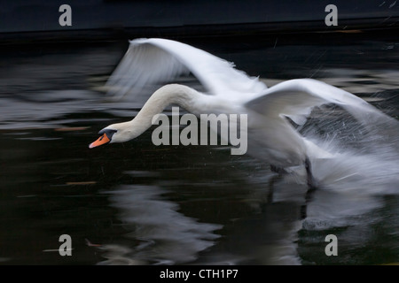 The Netherlands, 's-Graveland, Mute swan landing, (Cygnus olor ). - Stock Photo