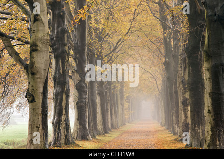 The Netherlands, 's-Graveland, Beech lane, Country road, autumn colors. - Stock Photo