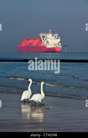The Netherlands, Rotterdam, Port. Norwegian tanker transporting Natural Liquid Gas ( LNG ) Couple of mute swans - Stock Photo