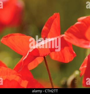 Papaver rhoeas, Poppy field - Stock Photo
