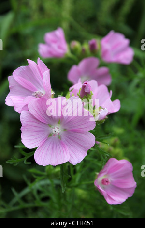 Musk-mallow Malva moschata - Stock Photo