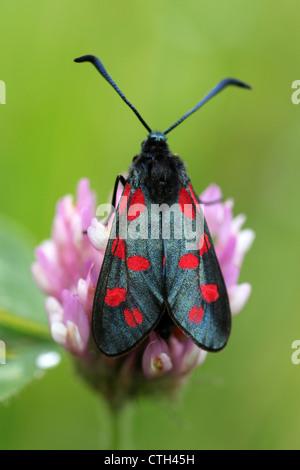 Six-spot Burnet Moth Zygaena filipendulae