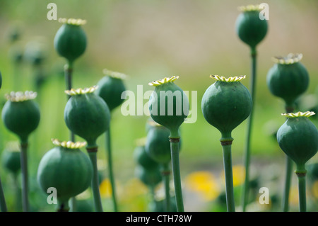 Papaver somniferum, Poppy, Opium poppy - Stock Photo