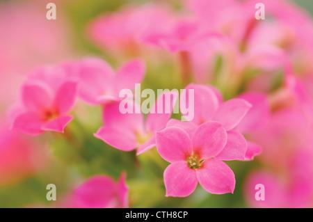 Kalanchoe blossfeldiana, Kalanchoe - Stock Photo